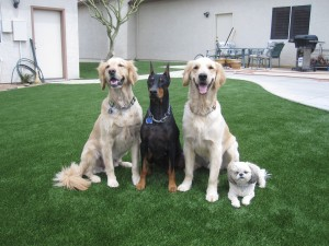 Dogs enjoying synthetic turf from Southwest Greens of the Valley